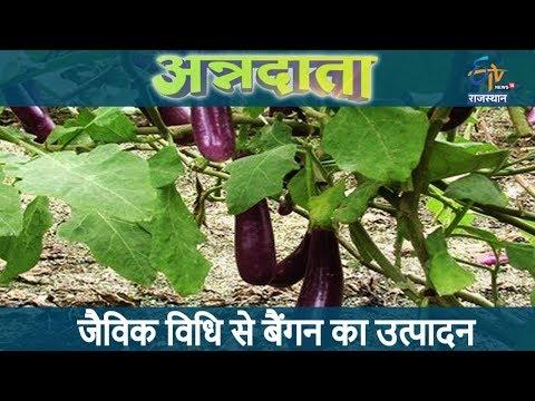 अन्नदाता | जैविक विधि से बैंगन का उत्पादन | Organic Brinjal Farming | Annadata