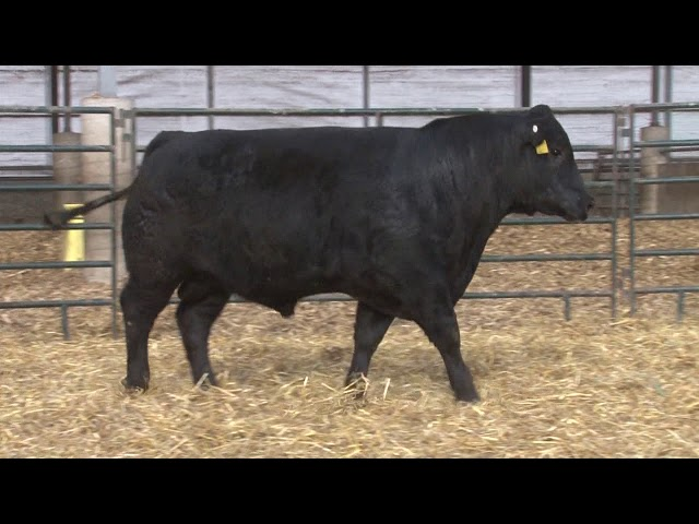 Schiefelbein Angus Farms Lot 242