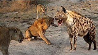 ハイエナ最も驚くべき野生動物対ライオンを殺すハイエナライオンは、HD...