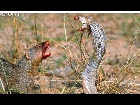 Mongoose vs Cobra, Snake fight Videos Compilation 2015