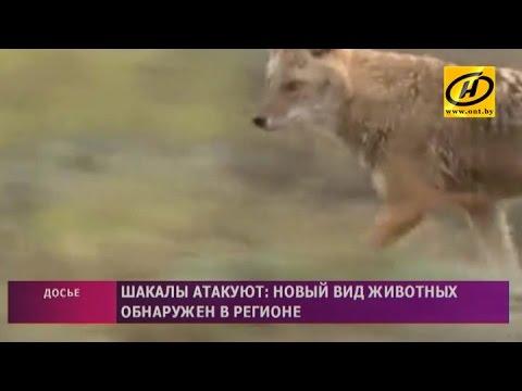 Золотистые шакалы поселились в Гродненской области и нападают на домашний скот