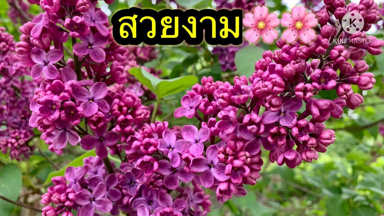 ดอกไม้สวยๆ สีม่วงสดใส.. 🌸🌸