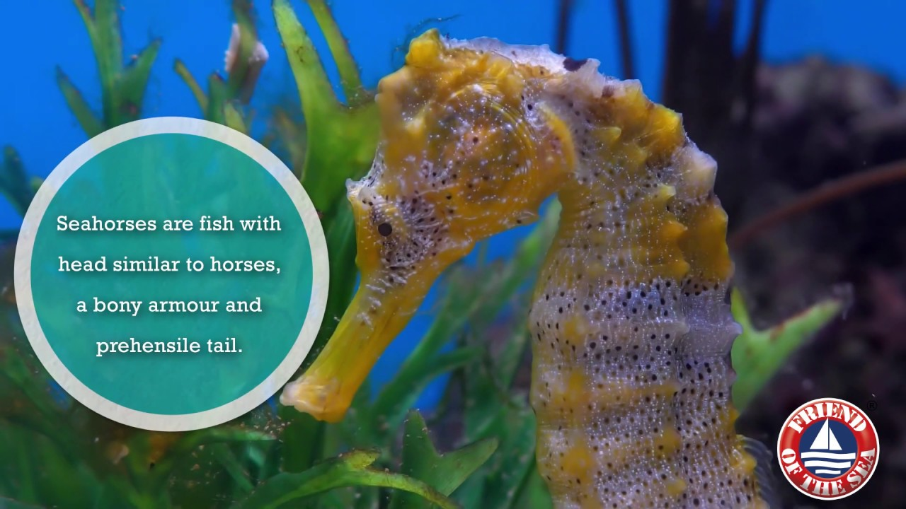 Save The Seahorses
