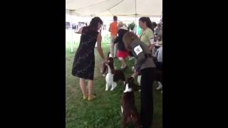 Best Of Breed Competition, English Springer Spaniels, Canfi
