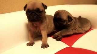 パグ子犬 11/10生まれ オス1頭 メス1頭 フォーン ブリーダーの子犬販...