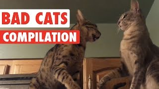 Bad Cats Video Compilation 2016