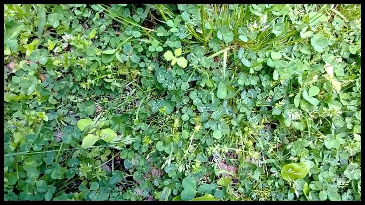 find a four leaf clover youtube