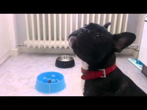 Frankie Is Complaining About His New Bowl - 4 Months Old French Bulldog Puppy HD