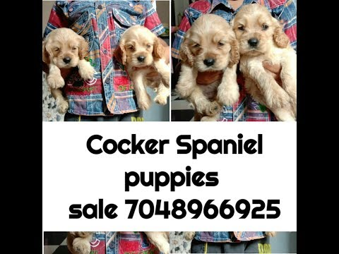 Cocker Spaniel puppies sale in Low price || 7048966925 || Simran Pet Lover