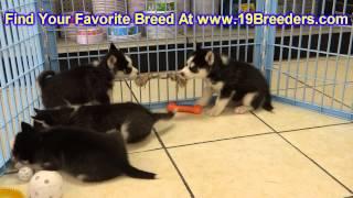 Siberian Husky, Puppies, For, Sale, In, Wichita, Kansas, Ks, Pittsburg, Hays, Liberal, Prairie Villa