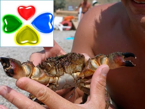 КРЫМ. КОКТЕБЕЛЬ.ПЛЯЖ.КРАБЫ.CRIMEA. KOKTEBEL.The BEACH.CRABS.La guerra de CRIMEA. KOKTEBEL.PLAYA.