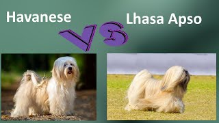 Havanese VS Lhasa Apso  Breed Comparison  Lhasa Apso and Havanese  Differences