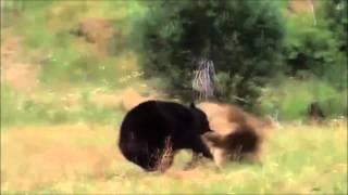 Борются дикие животные, лев и медведь