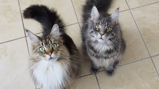 Maine Coons Excited to Get Fed