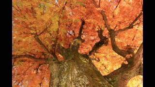 晩秋の高知城公園では銀杏の樹が黄色い葉を落とし、少し痩せたように見...