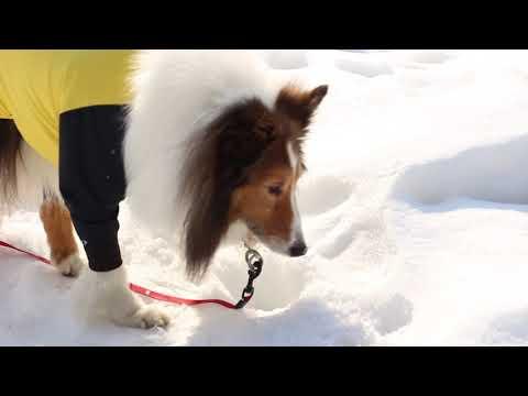 雪遊び~♪ シェルティ