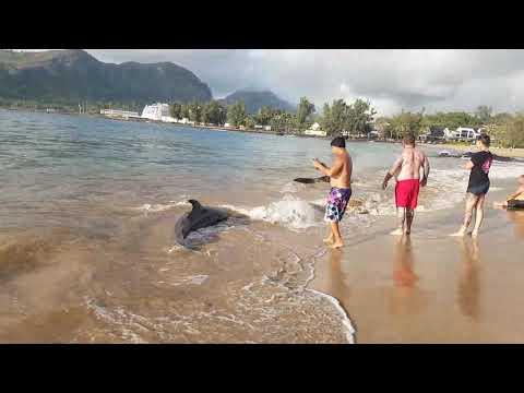 Pilot whales on Kalapaki Beach