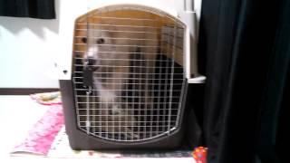 ピレネー犬の銀ちゃん今日はお耳がただれちゃって病院へ...ちょっと粗相...