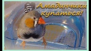 А МЫ ИДЕМ КУПАТЬСЯ. Зебровые амадины. Экзотические птицы. The Zebra finches. Finch bird