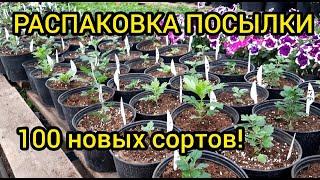 Получил посылку - 100 сортов хризантемы!!! Высадка в горшки.