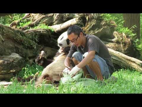 Giant panda keeper Yang Haidi and his charge, Qing Qing