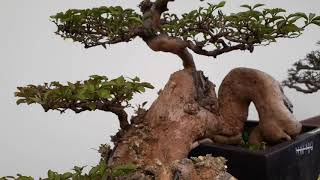 Gambar cover 817. A beautiful bonsai tree on my country.