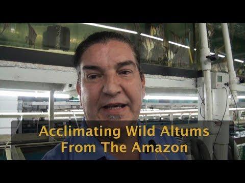 Altum Angel Shipment And Acclimation