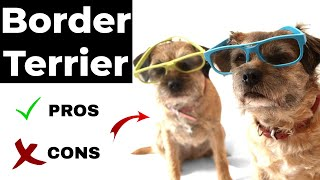 Border Terrier pros and cons | Border Terrier