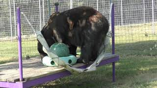 Black Bears Play With Fruit - Turpentine Creek Wildlife Refuge