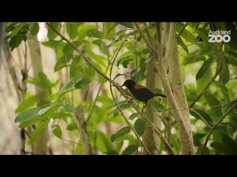 Thumbnail: Zoo Tales - The sweet sound of conservation success