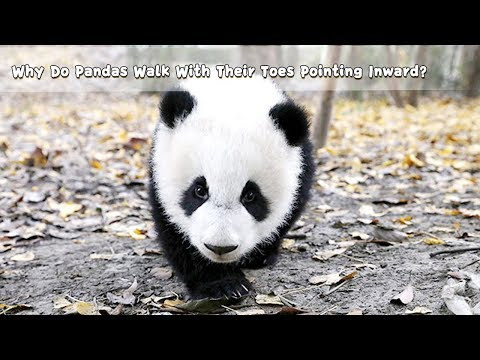 Why Do Pandas Walk With Their Toes Pointing Inward? | iPanda