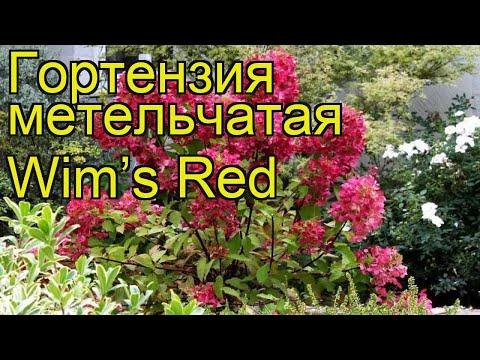 Гортензия метельчатая Вимс Рэд. Краткий обзор, описание характеристик hydrangea paniculata Wim's Red