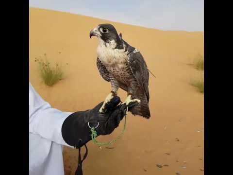 Falcon experience in Dubai, Falcon eating reward and a close-up