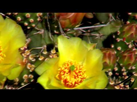 Opuntia fragilis, common name brittle prickly pear -  in bloom