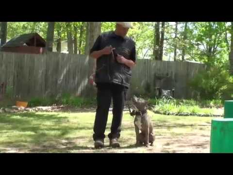 Pit bull 'Carter' obedience training