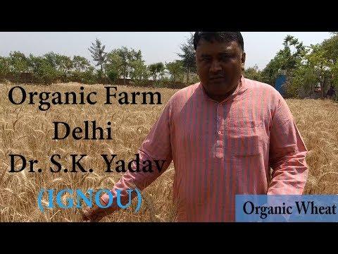 Organic farm in Delhi - Palla Village (Near Burari) || Dr. S.K. Yadav (IGNOU)
