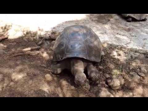 THE GALÁPAGOS TRAVELLER - Walking Tortoise