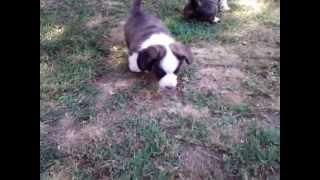 Pride - Cardigan Welsh Corgi Puppy