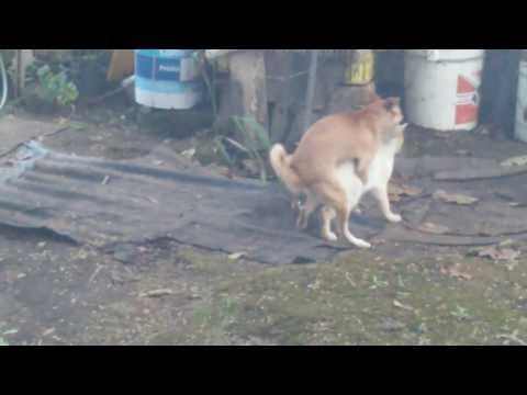 Gato Violado Por Perro