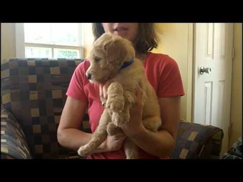 F1B Labradoodle Puppies (5 Weeks Old)