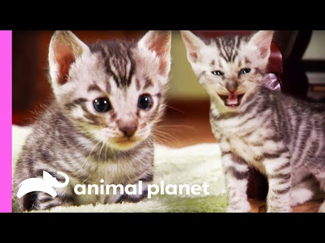 Toyger Kittens Prowl Around Their Suburban Jungle Home | Too Cute!