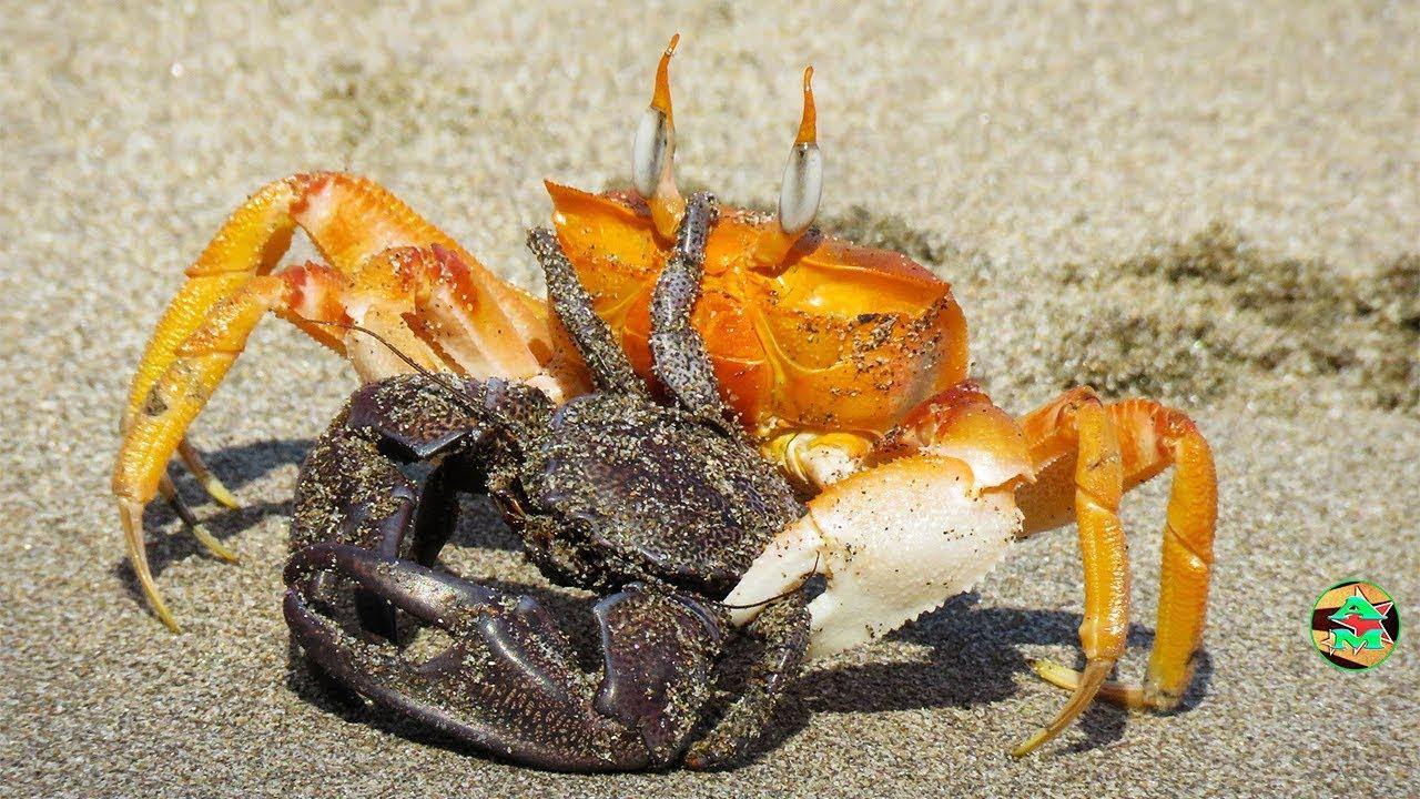 Genial como cocinar cangrejos de mar im genes fotos Cocinar ortigas de mar