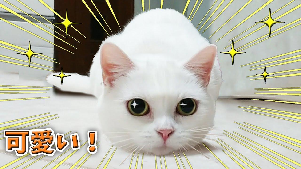 遊んでるだけで魅力が溢れる可愛い白猫マンチカン