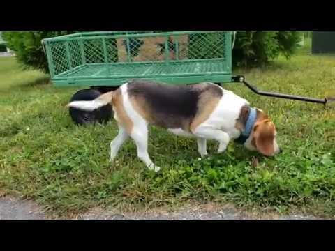 Happy Snuffling Beagle Sounds