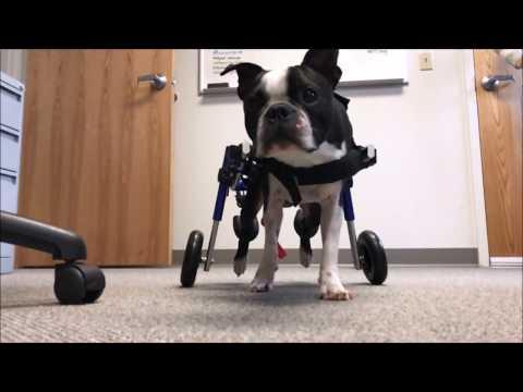 Dog Wheelchairs, Dog Carts, Handicapped Pets Canada   Dog Wheels