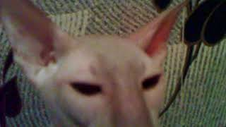 Зловещие Сфинксы (кошки)