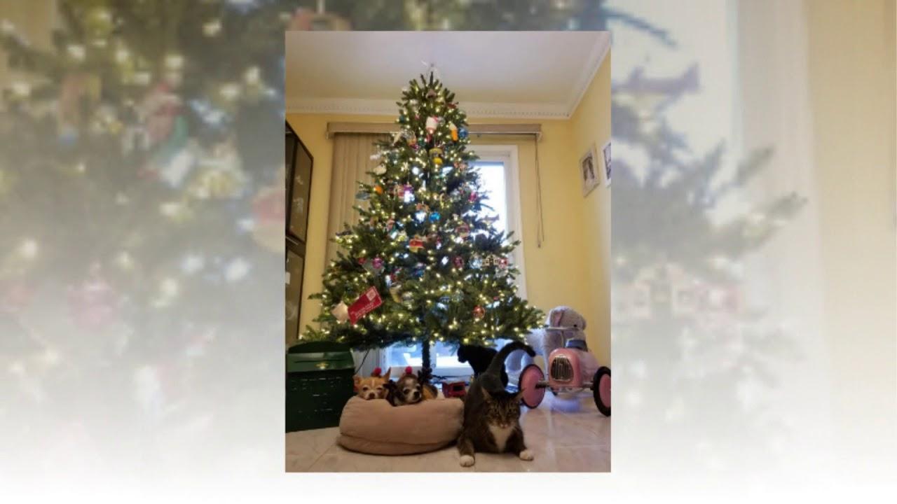 e8b08e01d2f7 Balsam Hill Classic Blue Spruce Artificial Christmas Tree