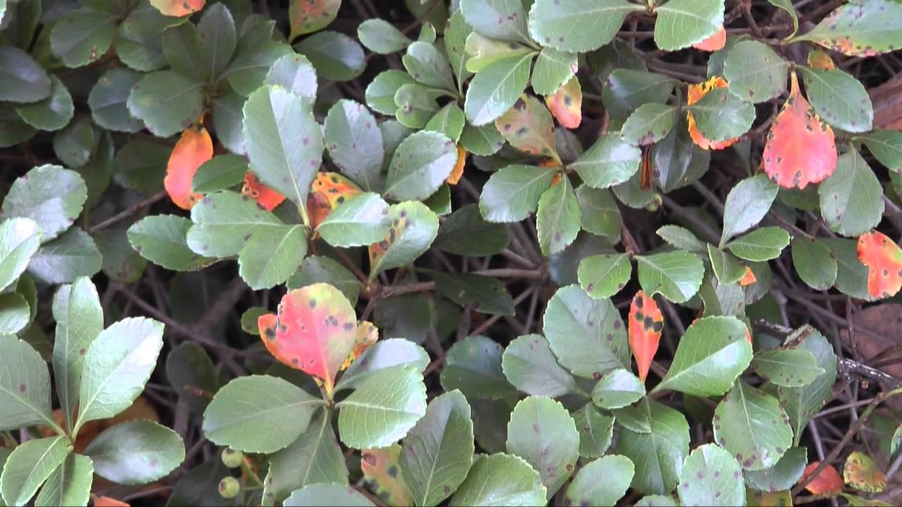 Entomosporium Leaf Spot Of Hawthorn Youtube