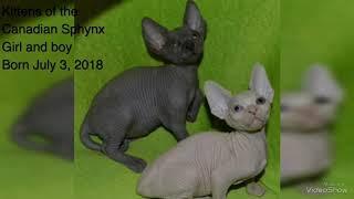 Продажа котят канадского сфинкса Харьков, Sphynx kittens for sale, Cats Sphynx for sale
