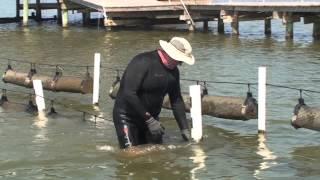 Oyster Farming Grows Market (Part 1)